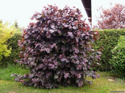 Лещина Red Majestic PBR -Corylus avellana Red Majestic