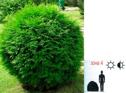 "Туя западная - Thuja occidentalis ""Globosa Compacta"""