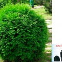 Туя западная (Globosa) - Thuja occidentalis